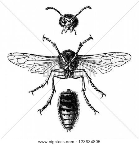 Wasp Hornet view below and divided into three parts, vintage engraved illustration. Magasin Pittoresque 1870.