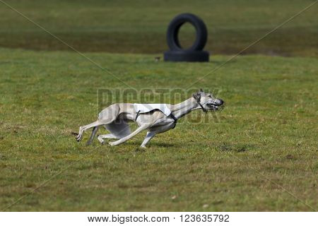 Magyar Agar race hound at coursing competition