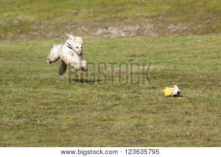 Afghan hound in flight at coursing