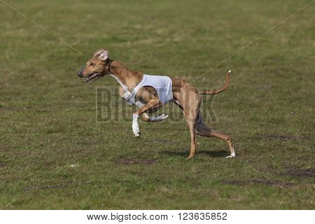 Purebred Azawakh hound at lure coursing race
