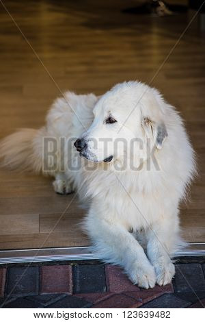 A profile shot of a white, long-haired Labrador Retriever ** Note: Soft Focus at 100%, best at smaller sizes