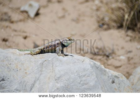 Colorful Mojave Desert Iguana resting on a rock in front of a sandy background