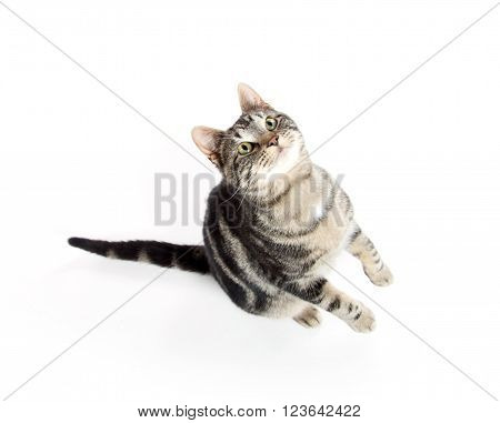 Tabby Cat Jumping