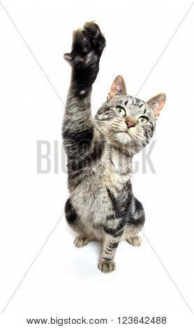 Cute Tabby Swinging Its Paw