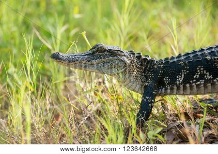 Young Alligator In A Florida Swamp