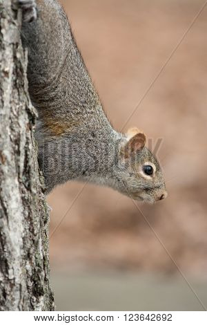 Squirrel Clinging To Tree