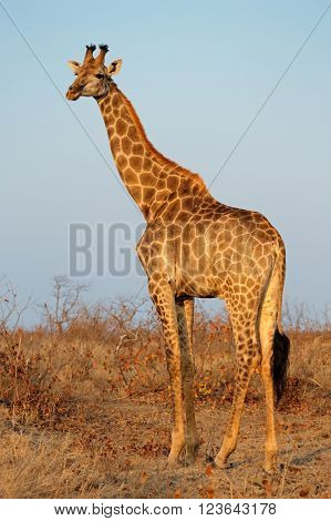 A giraffe (Giraffa camelopardalis) in natural habitat, Kruger National Park, South Africa