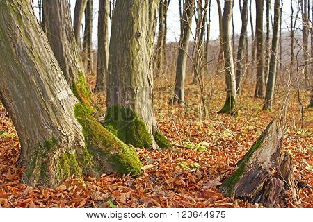 Trunks of old hornbeam trees in copse in the late autumn