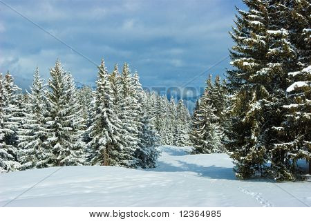 Fir trees covered with snow on a winter mountain at French Alps