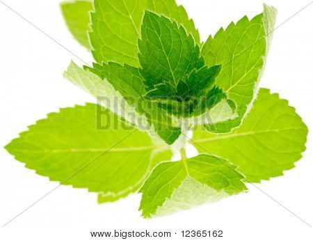 Fresh Corn Mint twig (Mentha arvensis) on white background