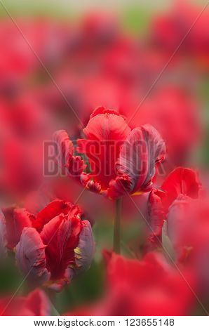 Beautiful spring background. Red tulips on blurred background watercolor style
