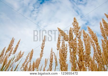 Beautiful nature background - herbs on the blue sky and clouds