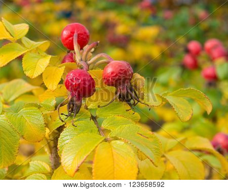 bunch of ripe red rosehips in autumn time