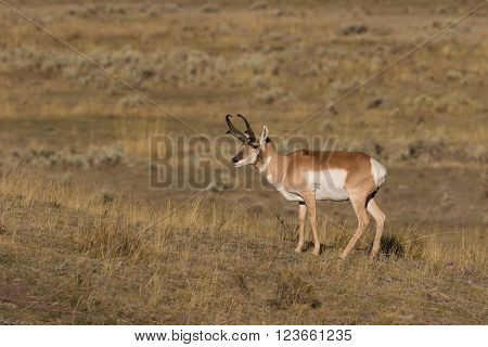 a nice pronghorn antelope buck on the prairie