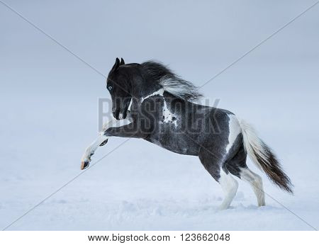 American miniature horse. Blue-eyed foal playing on snow field.