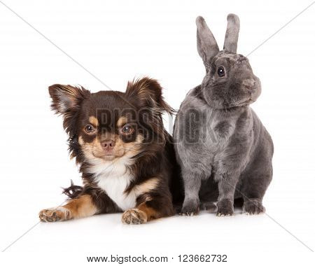 chihuahua dog lying down with a grey rabbit