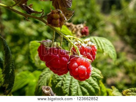 Ripe raspberries on the bush in the agricultural kibbutz in Israel close-up