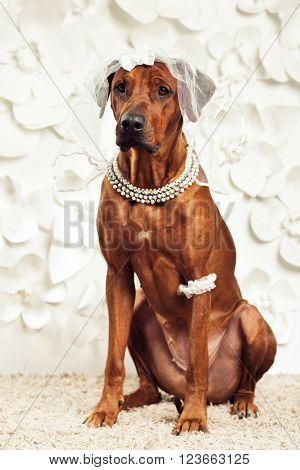 Rhodesian Ridgeback dog dressed like a bride in front of a flower background