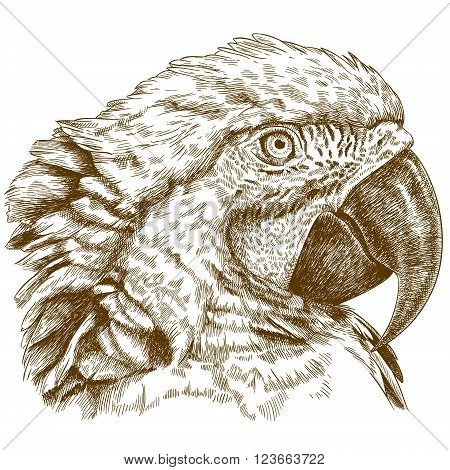 Vector antique engraving illustration of macaw head isolated on white background