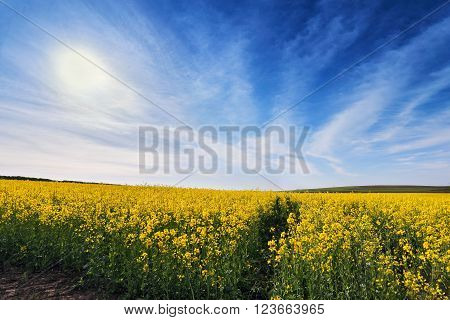 Spring colza fields. Blooming yellow flowers. Ukraine