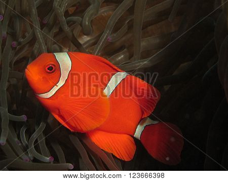 Red And White Anemonefish