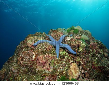 Blue Sea Star On A Reef