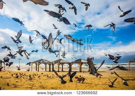 The windy January day in the Mediterranean. Large flock of pigeons taking off in  fright from sandy beach