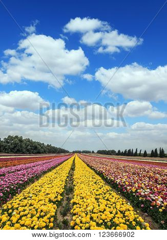 Magnificent flower carpet of colorful garden of buttercups close to the border. Spring flowering buttercups. Israeli kibbutz in the south