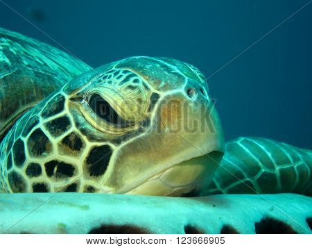 Resting Green Turtle