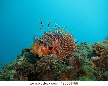 Red And Brown Lionfish