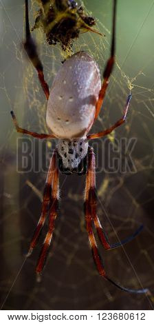 A Golden Orb Spider waiting for it's next meal