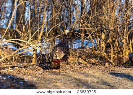 Wild Turkey. These big, spectacular birds are an increasingly common sight the rest of the year, too, as flocks stride around woods and clearings like miniature dinosaurs.
