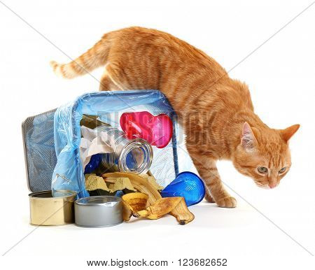 Red cat at full inverted garbage basket, isolated on white