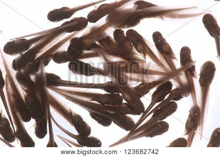Wood Frog Tadpoles (Rana sylvatica) - A group of tadpoles (or pollywogs) is called an Army.