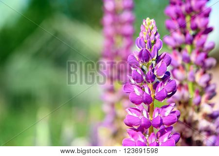Blooming lupine flowers on flower bed in the garden. Close-up. Natural background