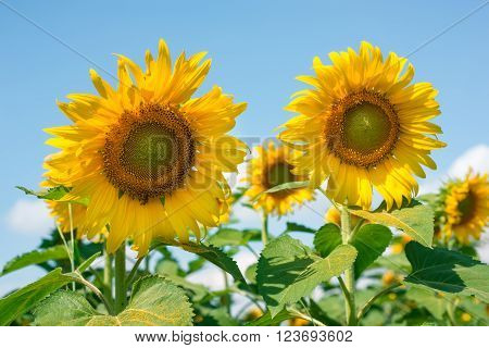 Sunflowers in a garden basking in the sunlight.