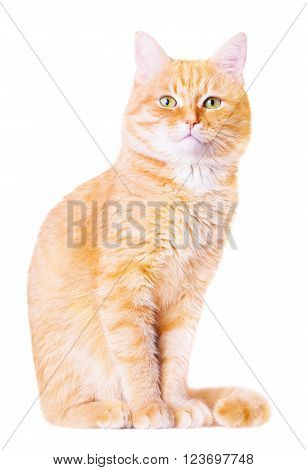 Beautiful red house cat on a white background