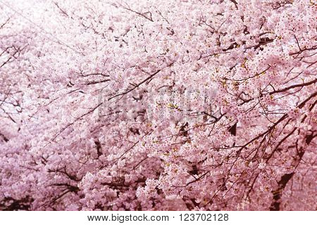 Cherry blossom in full bloom. Magnificent branches of blooming spring cherry flowers. Shallow depth of field.