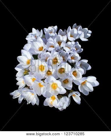 Flowerbed With Crocus