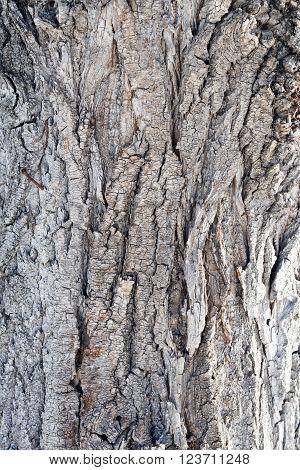 close up shot of a poplar bark