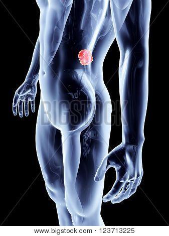 The Kidneys. A 3D rendered anatomical illustration.