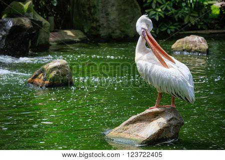 Graet White pelican, Pelicanus onocrotalus, KL Bird Park