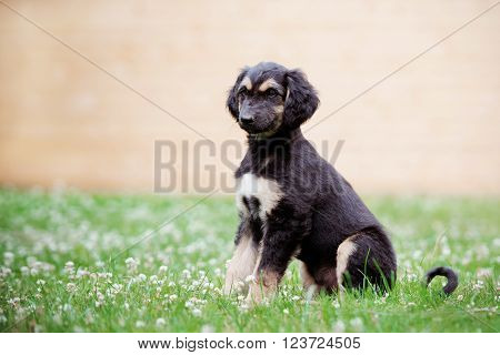 adorable afghan hound puppy outdoors in spring
