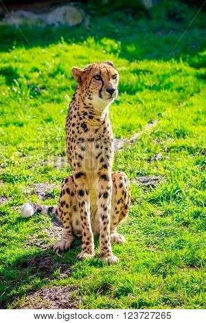 An Amur leopard sits on the grass.