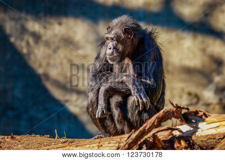 Old Chimpanzee Resting