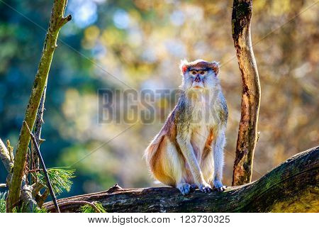 Patas Monkey On Tree Branch