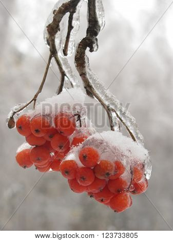 Bunches of red rowan berries covered with snow and ice.