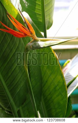 flowers blossoming fragrant exotic an unusual strelitzia royal