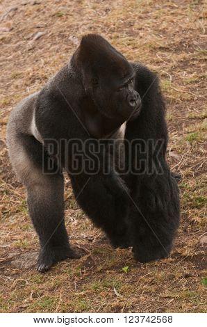 African Silverback gorilla