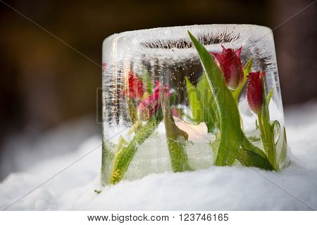 Ice lantern with red frozen tulips